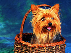 Yorkie in a Basket