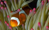 Clown Fish Hiding
