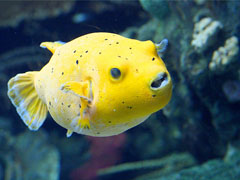 Smiling Yellow Fish
