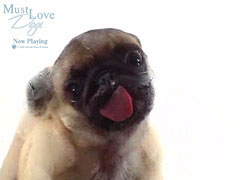 Must Love Dogs – Pug