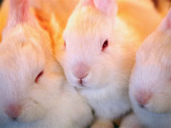 Three Baby Rabbits